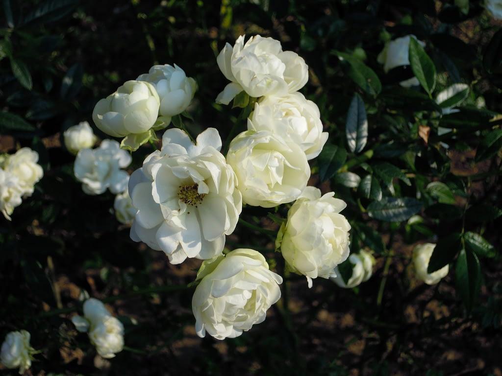 Rosa silvestre multiflora rose