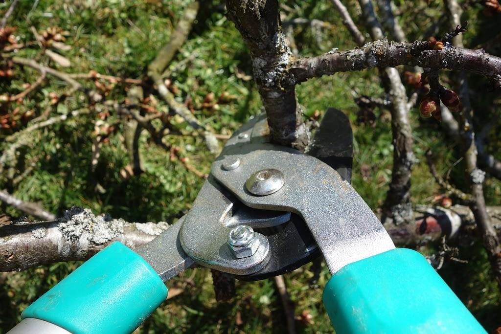 como podar el cerezo