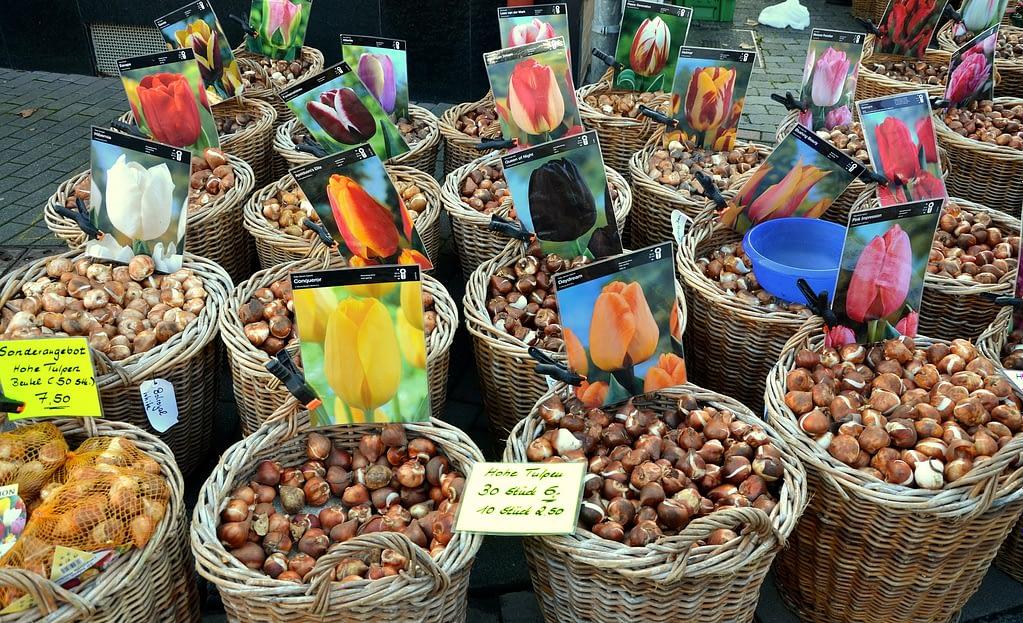 bulbos de tulipan