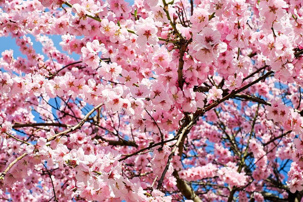 arbol del cerezo