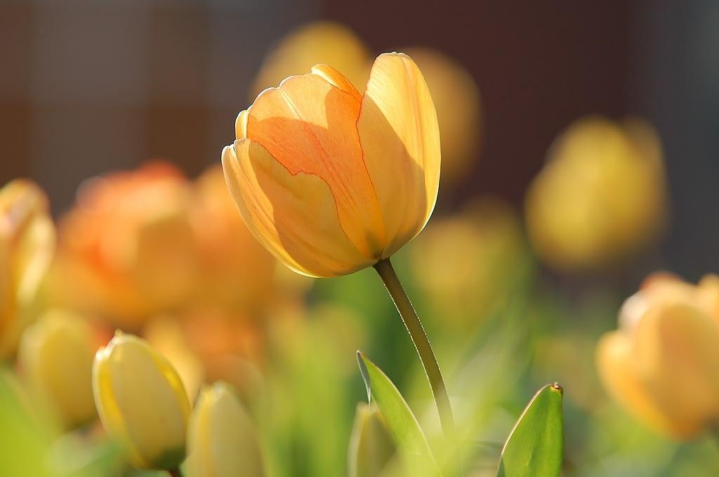 significado tulipan amarillo