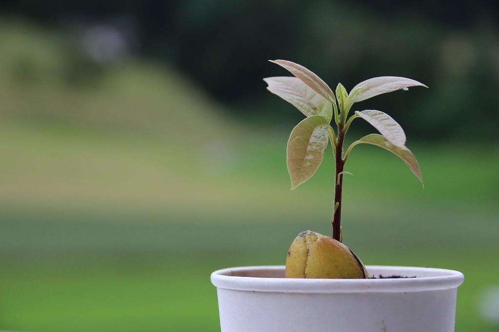 como-cultivar-un-aguacate