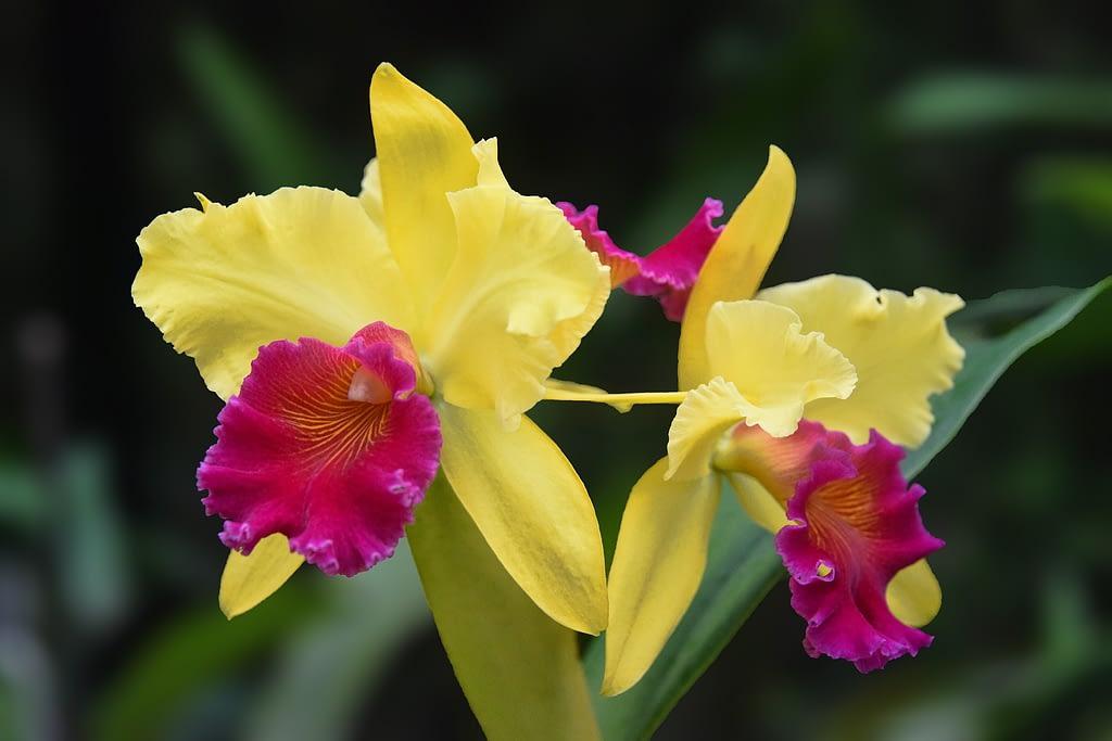 significado orquidea