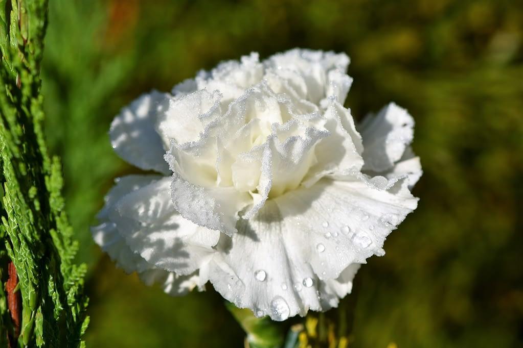 claveles blancos