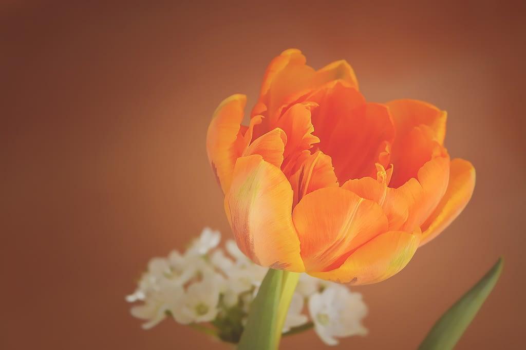 significado tulipan naranja