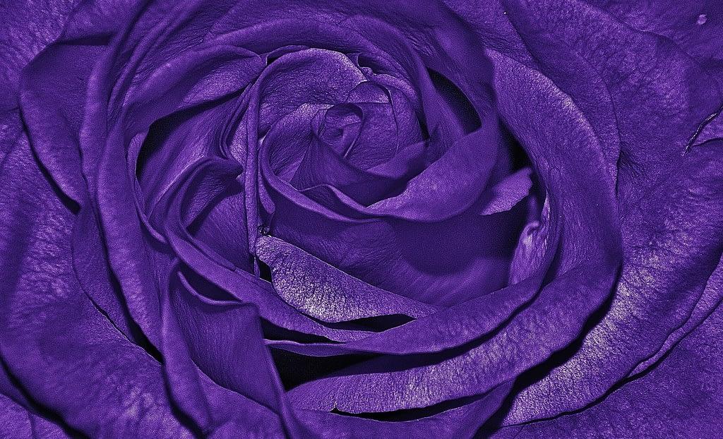 significado rosas moradas