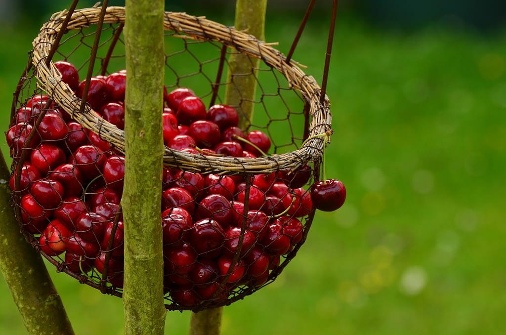 como cosechar cerezas