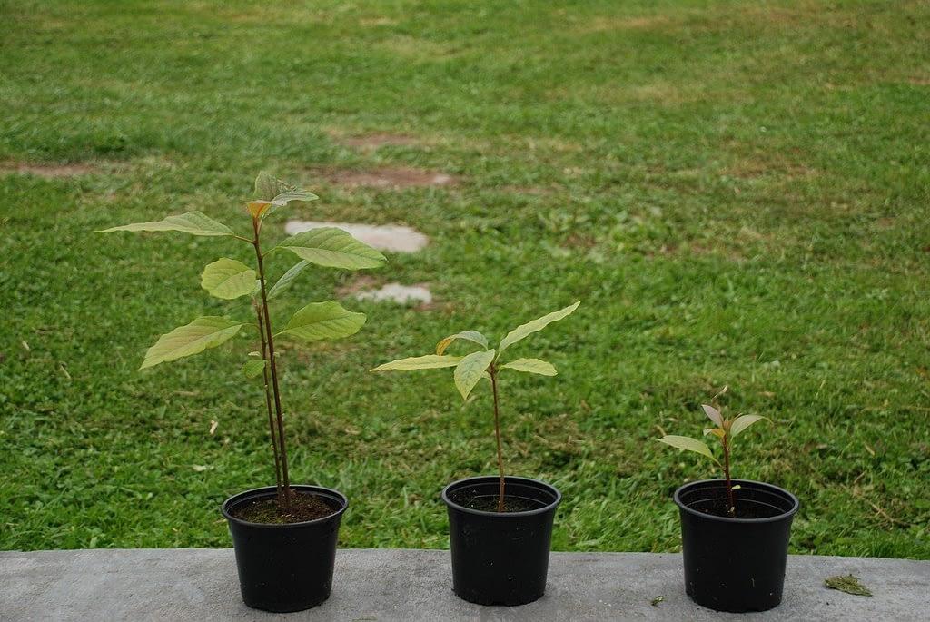 cultivar-aguacate