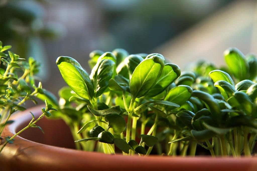como sembrar albahaca
