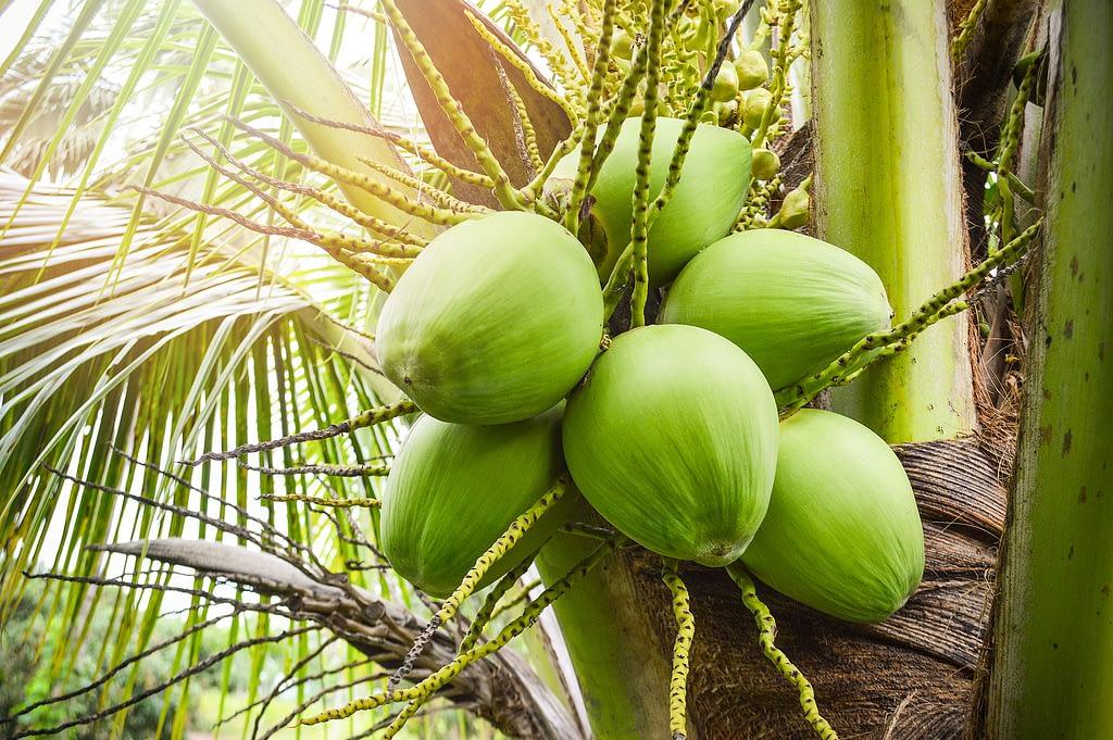 origen del coco