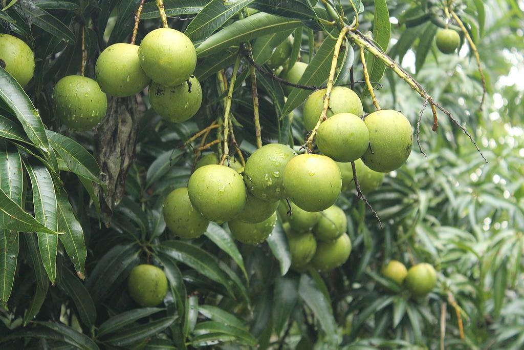 arbol mcomo es el arbol del mangoango