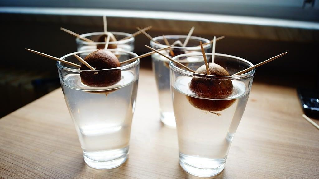 semilla-del-aguacate-para-cultivar