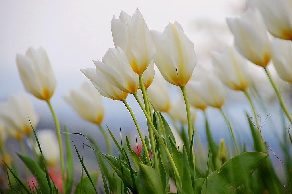 significado tulipan blanco