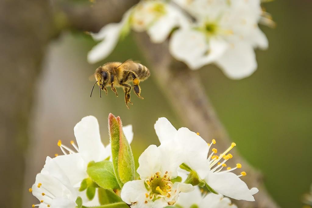 polinizacion del cerezo